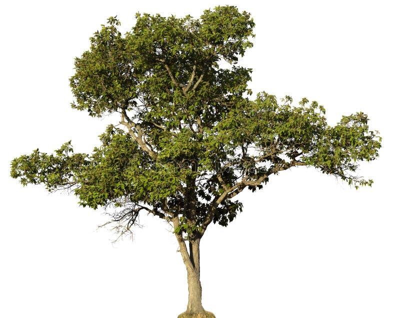 Árbol de tamarindo aislado y tronco brillante en el fondo blanco imagenes de archivo