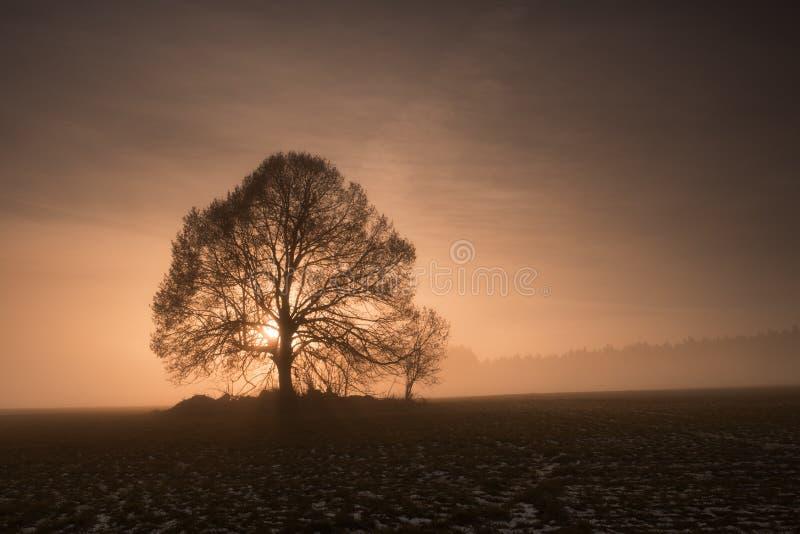 Árbol de tilo en la puesta del sol de niebla imagen de archivo