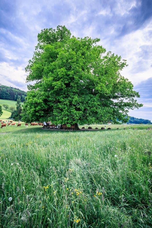 Árbol de tilo viejo asombroso debajo del cielo espectacular en el hdr de Argovia del linn foto de archivo