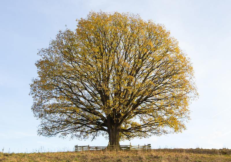 Árbol de tilo viejo del otoño hermoso imagen de archivo libre de regalías