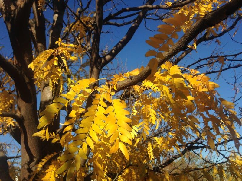 Árbol de Triacanthos del Gleditsia con las hojas del amarillo en la caída imagenes de archivo