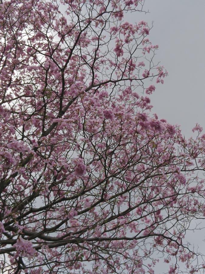 Árbol de trompeta rosado imagen de archivo libre de regalías
