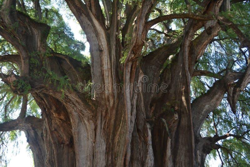 Árbol de Tule fotos de archivo
