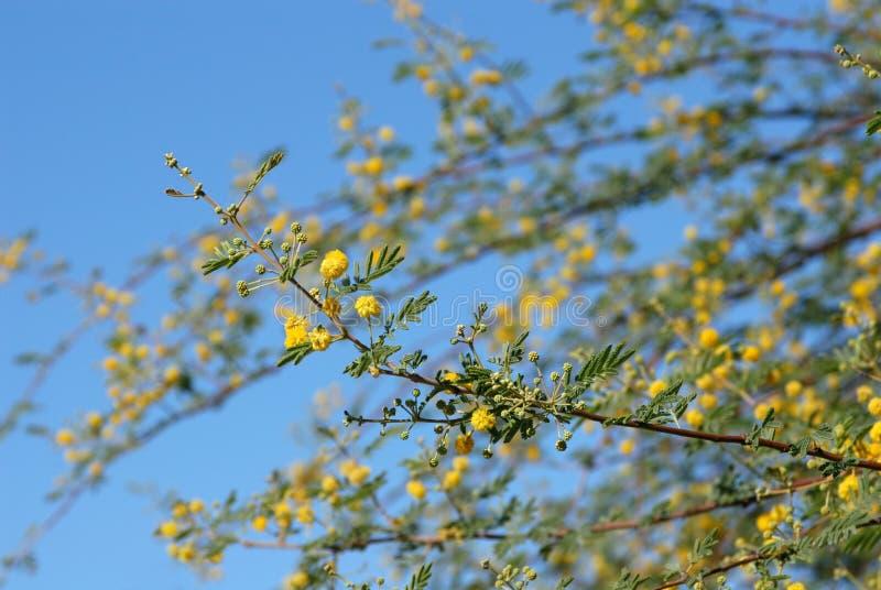 Árbol del acacia imagenes de archivo