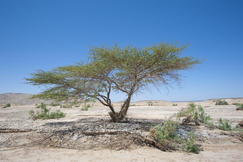 Árbol del acacia de Sáhara en paisaje del desierto fotografía de archivo libre de regalías