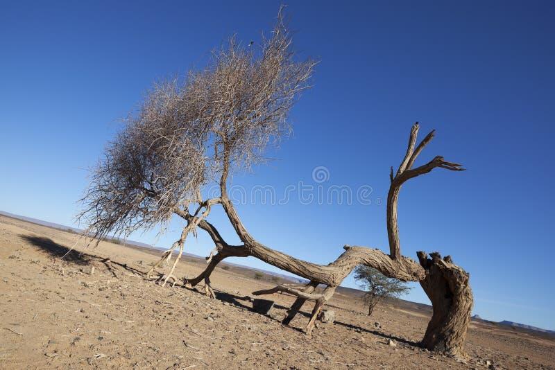 Árbol del acacia de Sáhara (raddiana del acacia) en el desierto del Sáhara. fotos de archivo