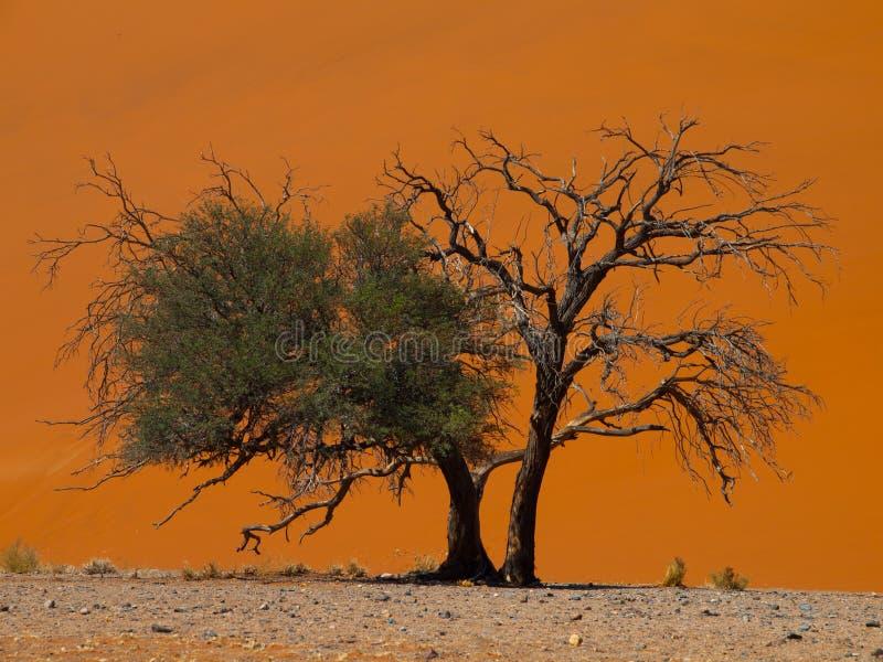 Árbol del acacia delante de la duna 45 en el desierto de Namid fotos de archivo