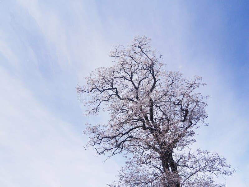 Árbol del acacia en invierno imagen de archivo libre de regalías