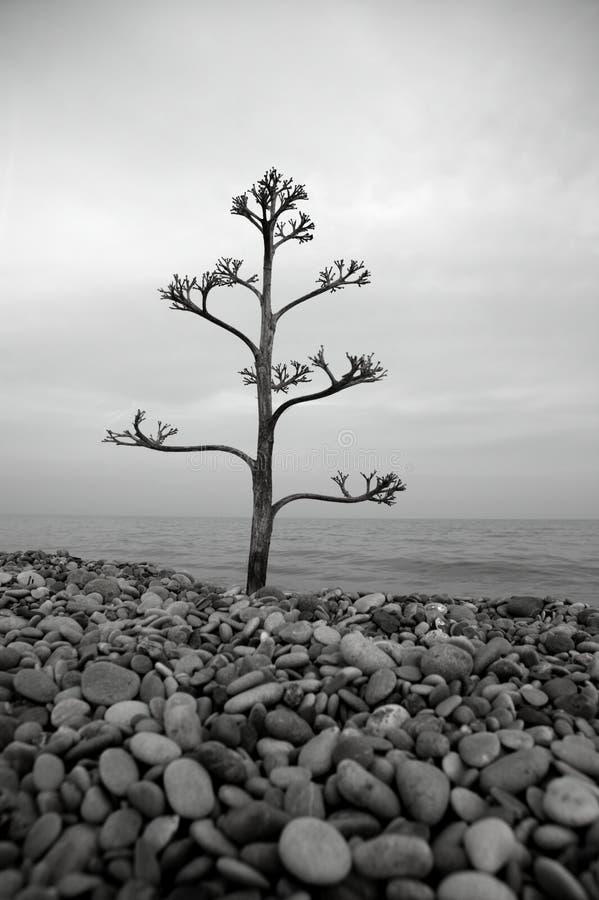 Árbol del agavo en una playa de Rolling Stone imagen de archivo