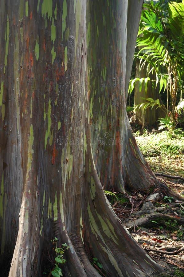 Árbol del arco iris del eucalipto de Hawaii foto de archivo libre de regalías