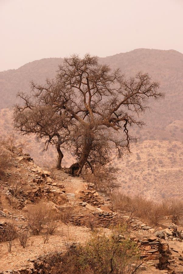 Árbol del Argan foto de archivo