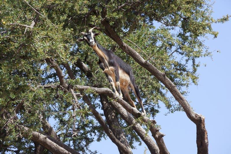 Árbol del Argan (argania spinosa) con la cabra. fotografía de archivo