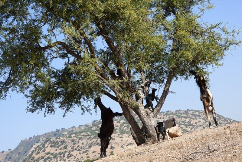 Árbol del Argan (argania spinosa) con las cabras. imágenes de archivo libres de regalías