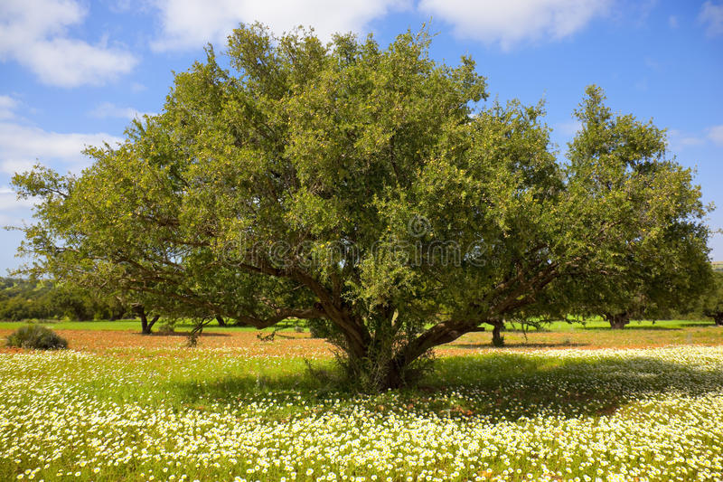 Árbol del Argan con las tuercas en ramificaciones fotos de archivo libres de regalías