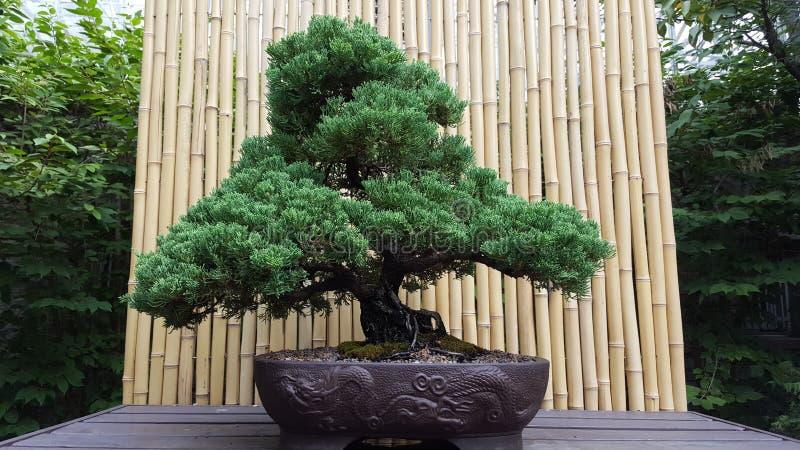 Árbol del Banzai fotos de archivo