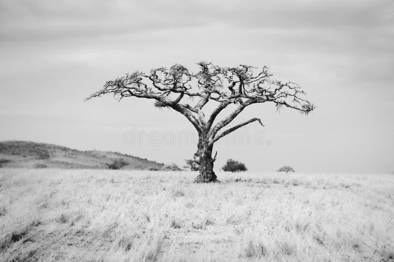 Árbol del baobab en los llanos de Serengeti en Tanzania septentrional imagen de archivo libre de regalías