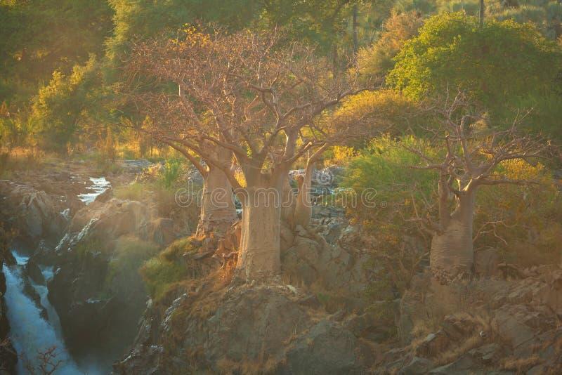 Árbol del baobab en Namibia fotos de archivo libres de regalías