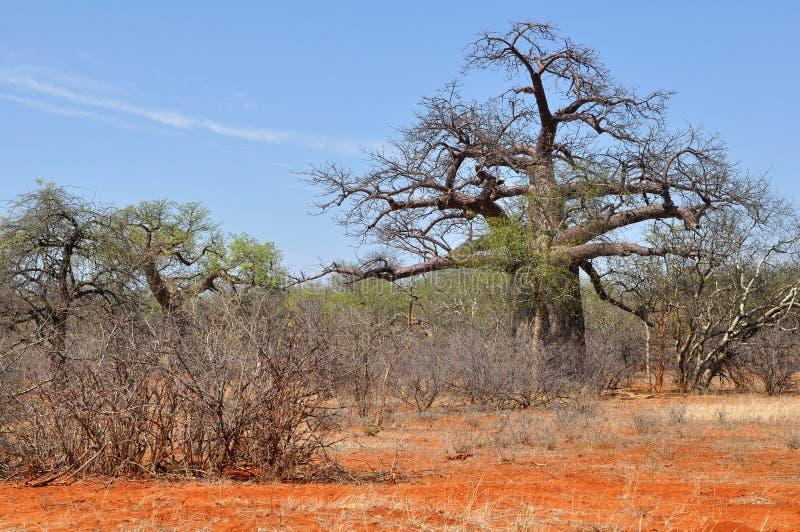 Árbol del baobab en paisaje africano fotos de archivo