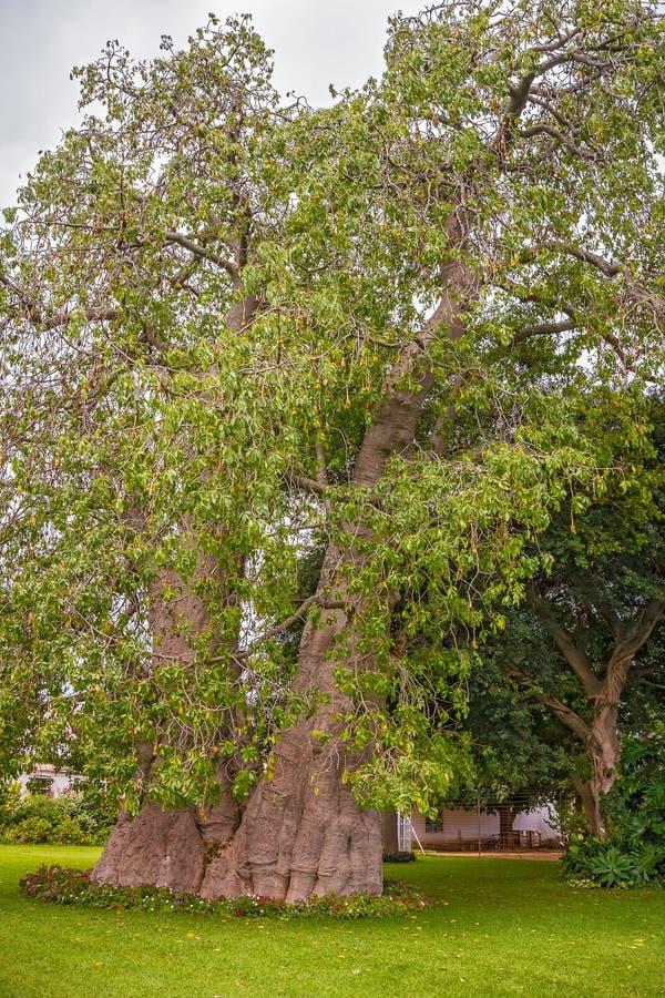 Árbol del baobab en Zambia foto de archivo