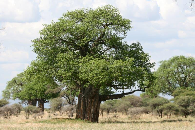 Árbol del baobab - parque nacional de Tarangire. Tanzania, África fotos de archivo