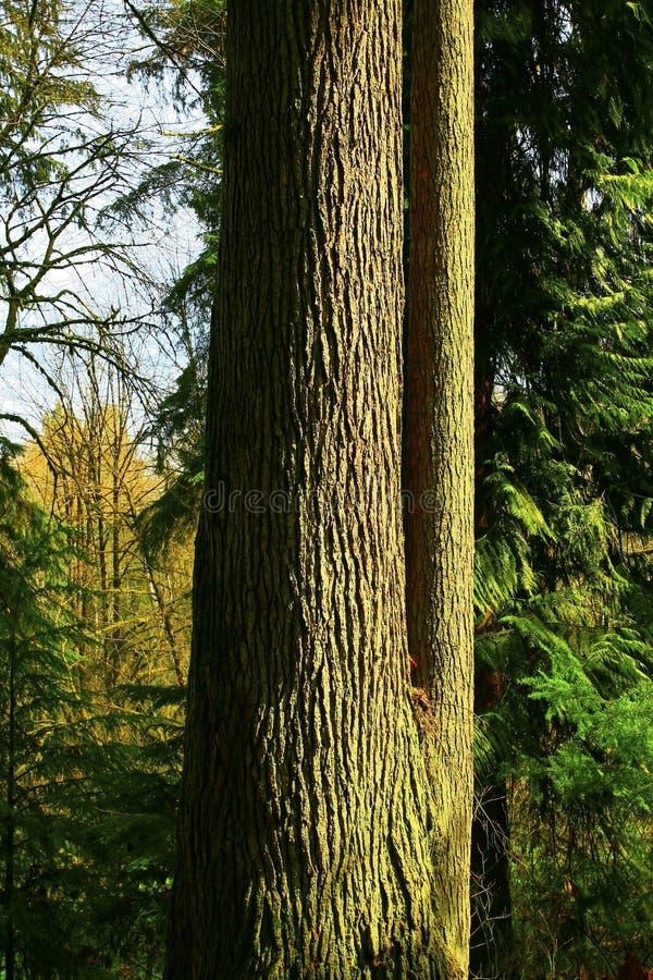 Árbol del bosque del noroeste pacífico y de cicuta occidental fotos de archivo libres de regalías