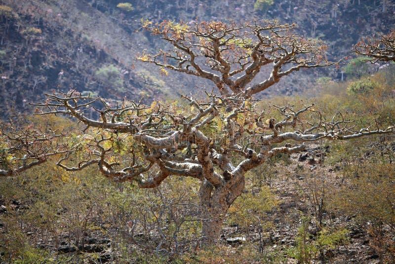 Árbol del Boswellia (árbol del incienso) imágenes de archivo libres de regalías