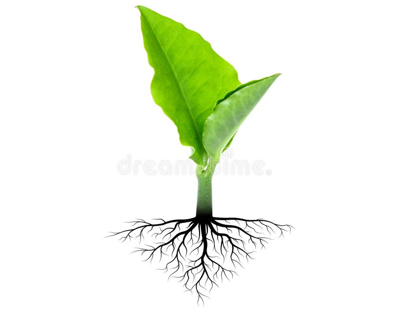 Árbol del brote con la raíz fotos de archivo