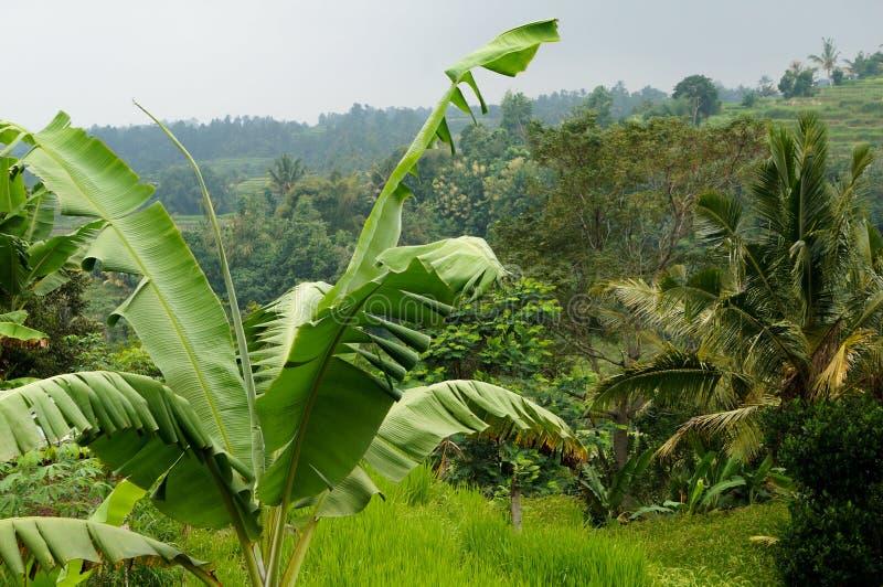 Árbol del campo y de plátano del arroz de Bali foto de archivo