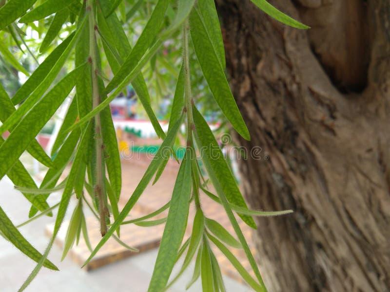 Árbol del cepillo de botella fotos de archivo