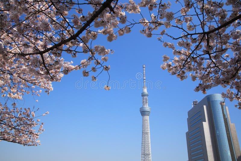 Árbol del cielo de Tokio y flor de cereza imágenes de archivo libres de regalías