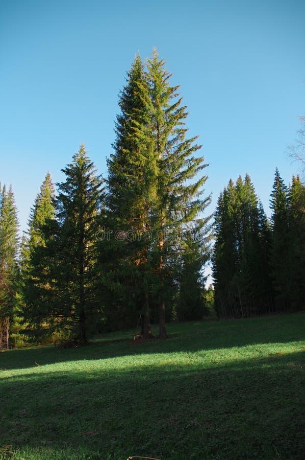 Árbol del claro del bosque de la estación fotografía de archivo