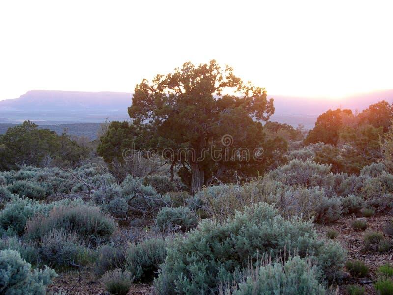 Árbol del enebro en la puesta del sol imagen de archivo