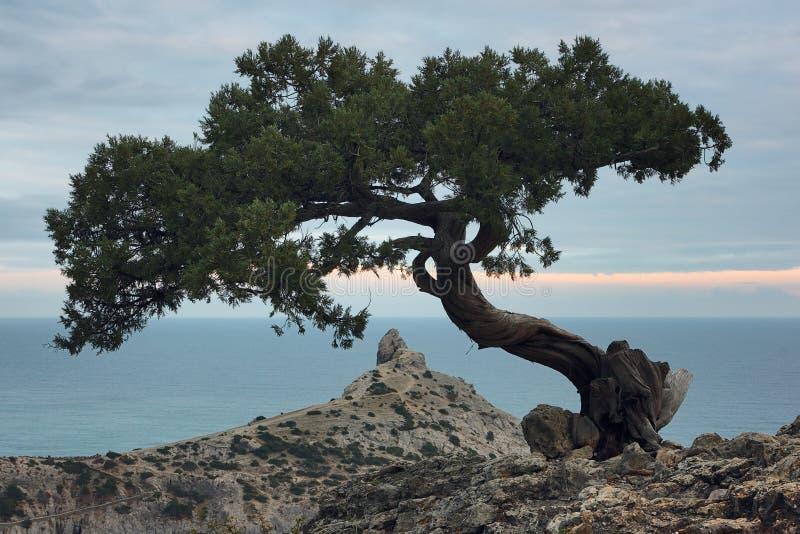 Árbol del enebro en la roca en Crimea fotos de archivo