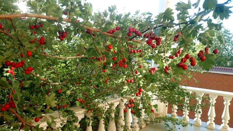 Árbol del espino en el jardín Ramifique con las bayas del espino Verano fotos de archivo