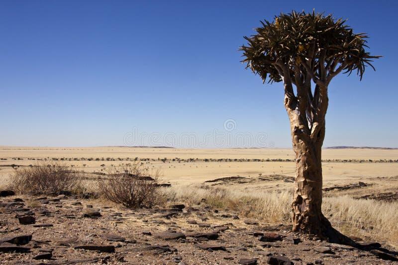 Árbol del estremecimiento en Namibia imagen de archivo