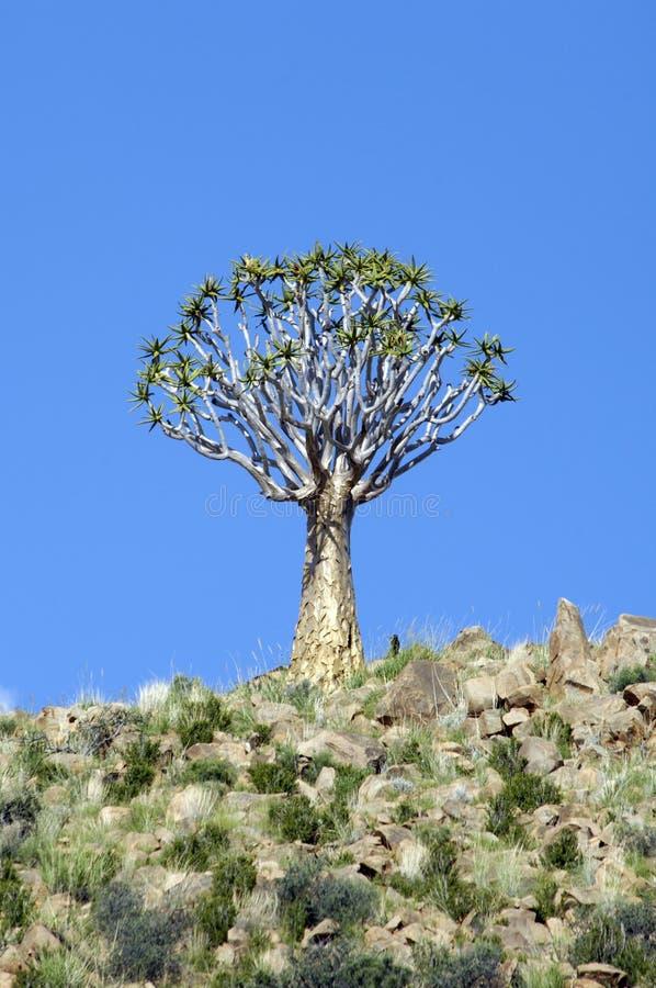 Árbol del estremecimiento en Namibia fotografía de archivo libre de regalías