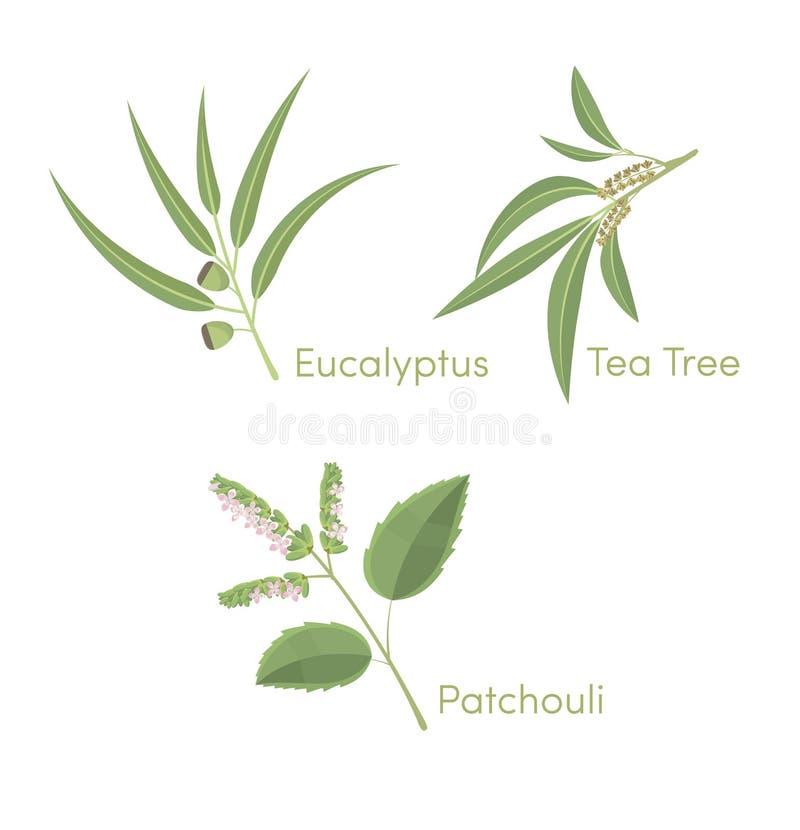 Árbol del eucalipto, del té y pachulí ilustración del vector
