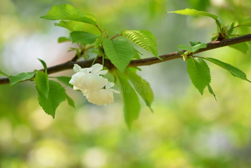 Árbol del flor fondo de la naturaleza en día soleado Apenas llovido encendido Huerta hermosa y fondo borroso extracto Concepto pa fotos de archivo libres de regalías