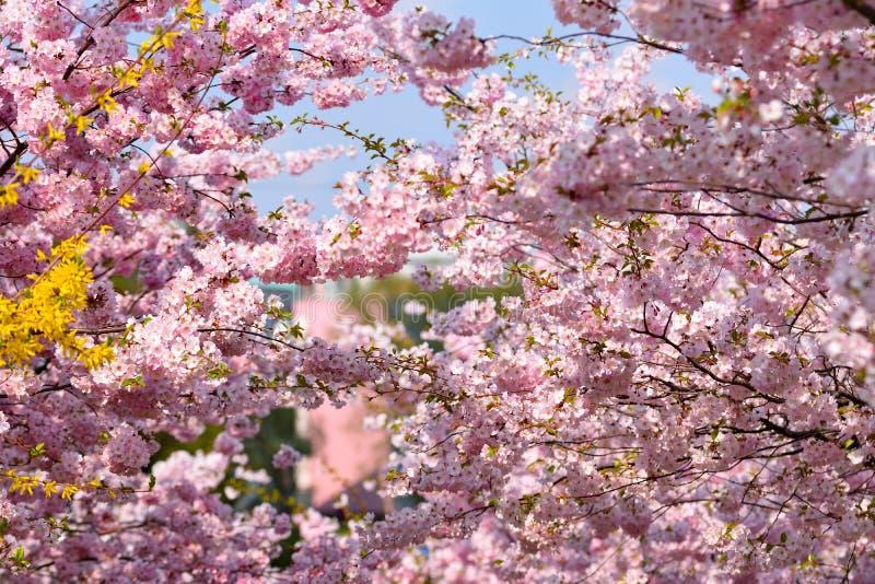 Árbol del flor fondo de la naturaleza en día soleado Apenas llovido encendido Huerta hermosa y fondo borroso extracto Concepto pa imagenes de archivo