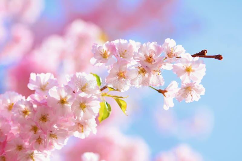 Árbol del flor fondo de la naturaleza en día soleado Apenas llovido encendido Huerta hermosa y fondo borroso extracto Concepto pa imagen de archivo libre de regalías