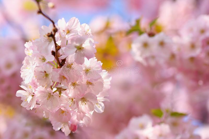 Árbol del flor fondo de la naturaleza en día soleado Apenas llovido encendido Huerta hermosa y fondo borroso extracto Concepto pa fotografía de archivo libre de regalías