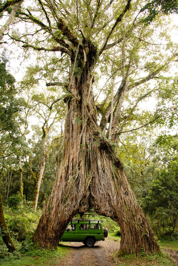 Árbol del gigante del carro del safari foto de archivo libre de regalías