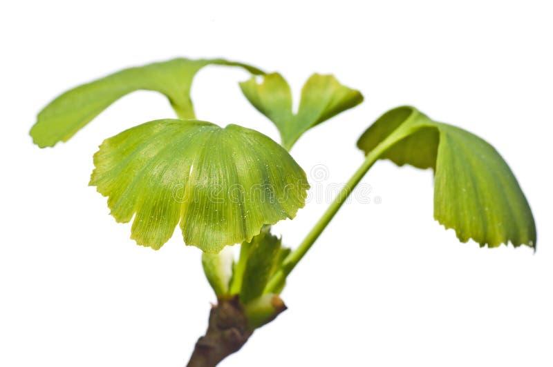 Árbol del Ginkgo foto de archivo