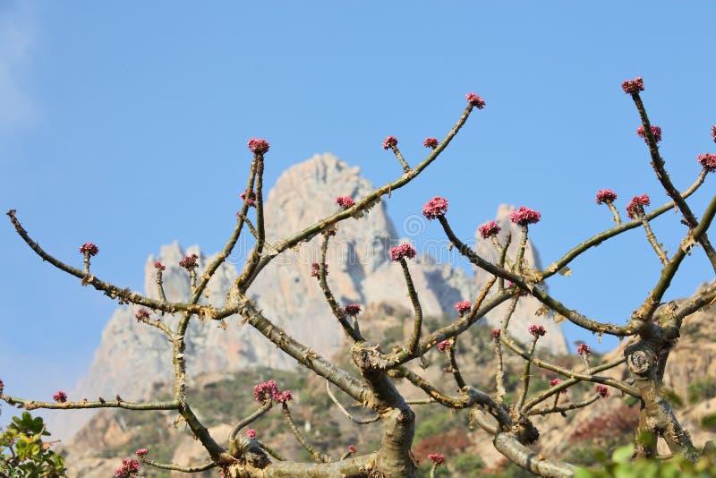 Árbol del incienso en flor fotografía de archivo libre de regalías