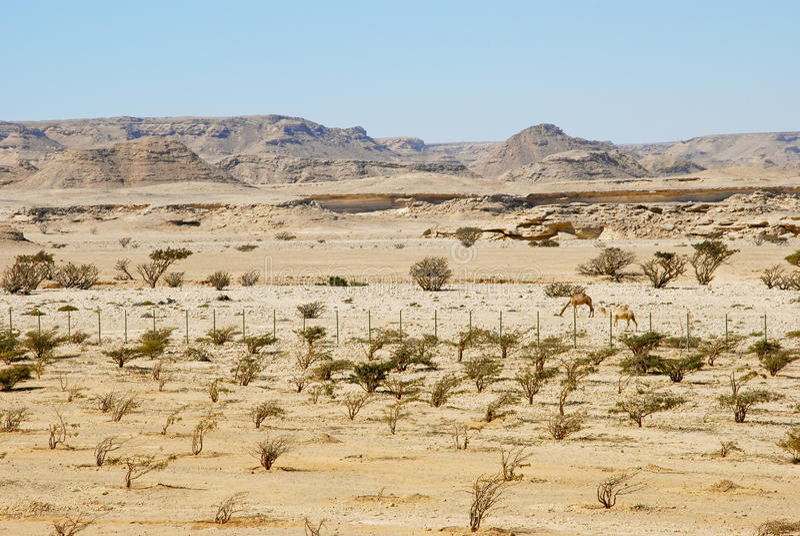 Árbol del incienso en Wadi Dawkah imagenes de archivo