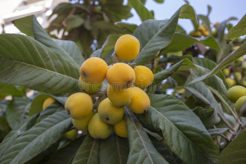 Árbol del japonica del Eriobotrya, árbol frutal fresco en jardín fotos de archivo libres de regalías