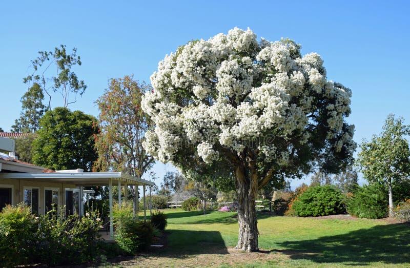 Árbol del libro en rústica de Flaxleaf en la plena floración en el bosque de Laguna, California fotografía de archivo libre de regalías
