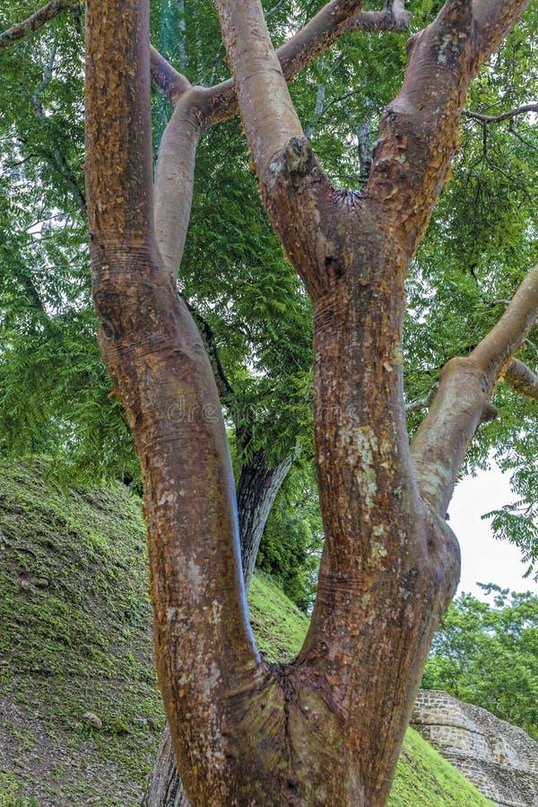 Árbol del limbo del Gumbo imagenes de archivo