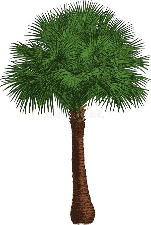Árbol del Livistona. Vector libre illustration