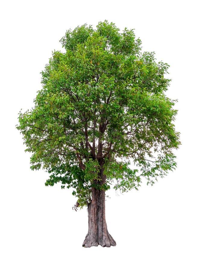 Árbol del malayana del Irvingia imágenes de archivo libres de regalías